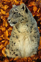 pc0119 Portrate of a Snow Leopard