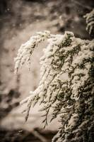 evergreen branches in snow
