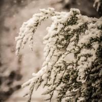 evergreen branches in snow by Alexandr Grichenko
