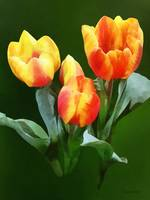 Orange and Yellow Tulips