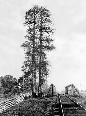 "Palo Alto's Namesake, ""The Tall Stick"" c1875"