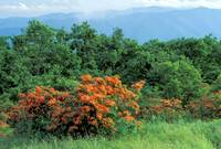 Smoky Mountains - Flame Azaleas on Gregory Bald