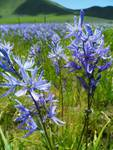 Field of Wildflowers - Camassia Quamash