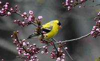 Goldfinch xxx -8947