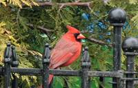 Young Male Cardinal xxxx --9077