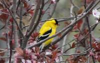 Goldfinch xxx --9056