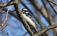 Downy Woodpecker -8048