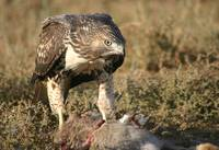 Red Tailed Hawk and Dinner