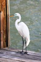 Pretty Great Egret