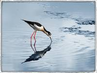 Black Necked Stilt by Giorgetta Bell McRee