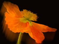 Dramatic Orange Poppy