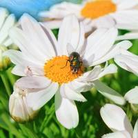 Daisy with Insect