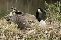 Canada Goose With Gosling Nestled Under a Wing