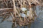 Three Painted Turtles in a Marsh