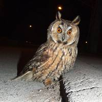 Long eared owl (Asio otus) DSCF1769