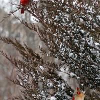 Cardinal Pair on Snowy Tree Branches by Karen Adams