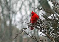 Cardinal on Snowy Winter Branch