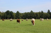 Dutch Landscape with Cows by Carol Groenen