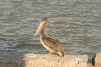 Port Aransas Pelican