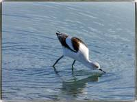 Hungry Avocet by Giorgetta Bell McRee