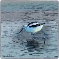Elegant Avocet by Giorgetta Bell McRee