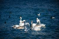 Swans and other birds in Yalta near the embankment