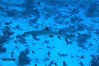 Whitetip Roaming