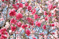Spring Pinks by Carol Groenen