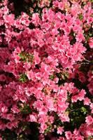 Pretty Pink Azaleas by Carol Groenen