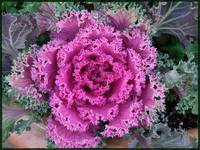 Ornamental Kale by Giorgetta Bell McRee