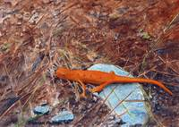 Red Eft Salamander