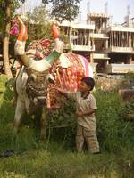 boy and nandi bull