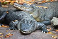 Autumn Alligators
