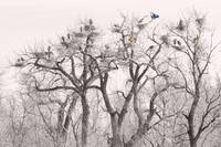 Great Blue Heron  Colonies