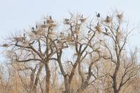 Great Blue Heron Colony