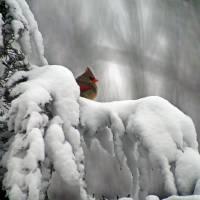 Cardinal in Winter by Karen Adams