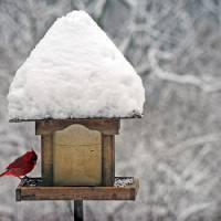 Cardinal at Bird Feeder by Karen Adams