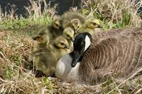 Canada Goose and Six Goslings