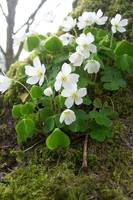 Wood Sorrel on the base of a tree