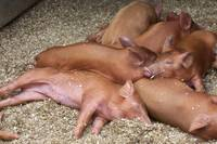 Sleeping Tamworth Piglets