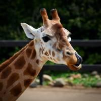 Giraffe by Jen Wheeler