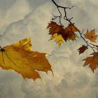 Falling Maple Leaf by I.M. Spadecaller