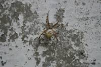 Orb Weaver Spider on a Wall