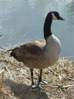 Canada Goose on a Lakeshore