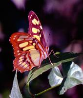 North American Butterfly