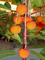Arbutus Unedo Fruits