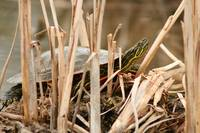 Painted Turtle Sunning Itself in Reeds