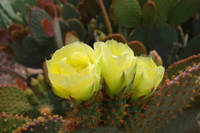 Prickly Pear Trio