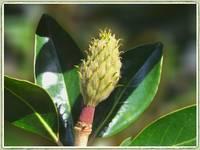 Magnolia Pod by Giorgetta Bell McRee