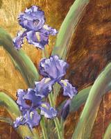 Purple Iris II
